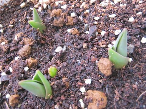 2015-02-24_tulip_33.JPG