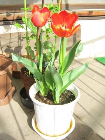 2015-04-06_tulip_66.JPG