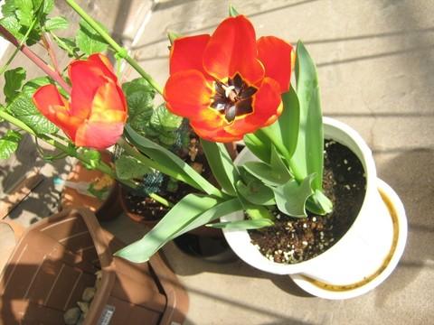 2015-04-06_tulip_67.JPG