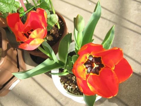 2015-04-06_tulip_68.JPG