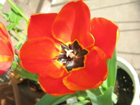 2015-04-06_tulip_70.JPG