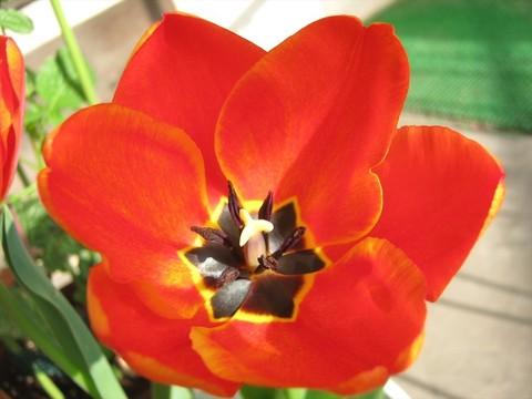 2015-04-06_tulip_71.JPG