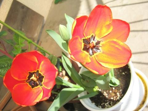 2015-04-06_tulip_73.JPG