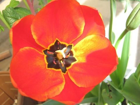 2015-04-06_tulip_74.JPG