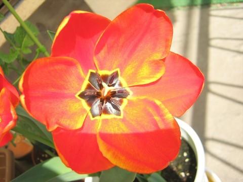2015-04-06_tulip_76.JPG