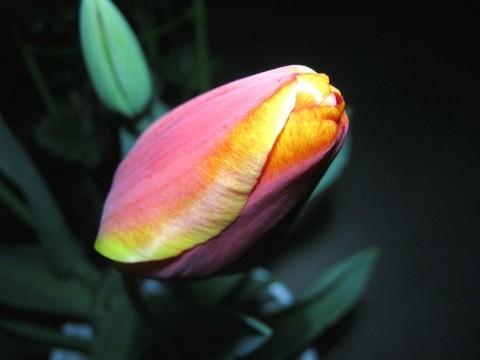 2015-04-07_tulip_79.JPG