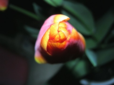 2015-04-07_tulip_80.JPG