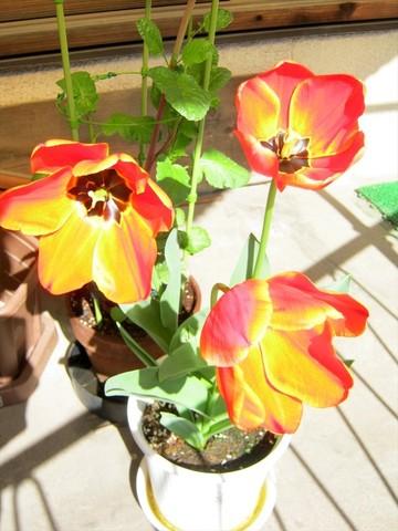 2015-04-15_tulip_83.JPG