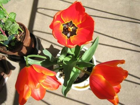 2015-04-15_tulip_84.JPG