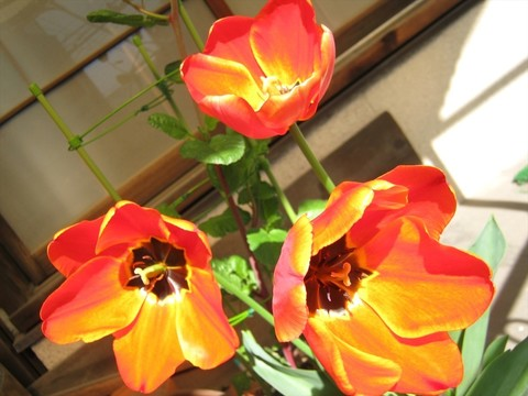 2015-04-15_tulip_85.JPG