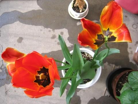 2015-04-20_tulip_89.JPG