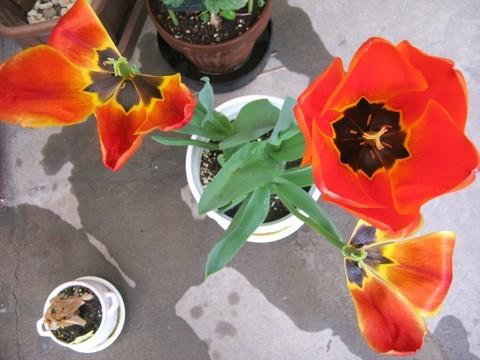 2015-04-20_tulip_90.JPG