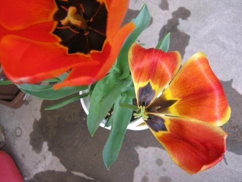 2015-04-20_tulip_91.JPG